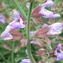 Salvia officinalis SALVIA COMUN (15 semillas)