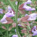 Salvia officinalis COMMON SAGE (15 seeds)