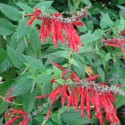Salvia rutilans, elegans PINEAPPLE SAGE (plant)