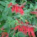 Salvia rutilans ANANASSALBEI (pflanze)