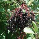 Sambucus nigra BLACK ELDERBERRY (20 seeds)