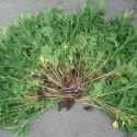 Insektizide pflanzen
