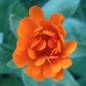 Healing plant