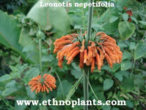 Beliebt Description du Leonotis nepetifolia, culture de la klip dagga ou  SZ38