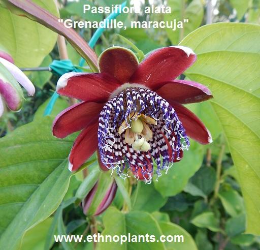 culture de la passiflora caerulea edulis plantation du fruit de la passion grenadille. Black Bedroom Furniture Sets. Home Design Ideas
