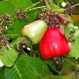 anacardier culture description et utilisation de la noix