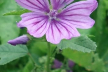 Mauve officinale (Malva sylvestris)