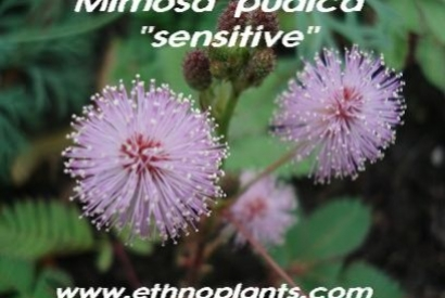 Plante sensitive (Mimosa pudica)